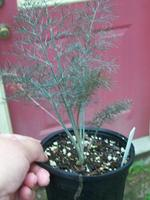 Bronze_fennel