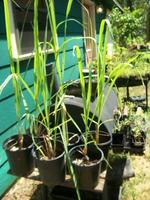 Lemon_grass_1